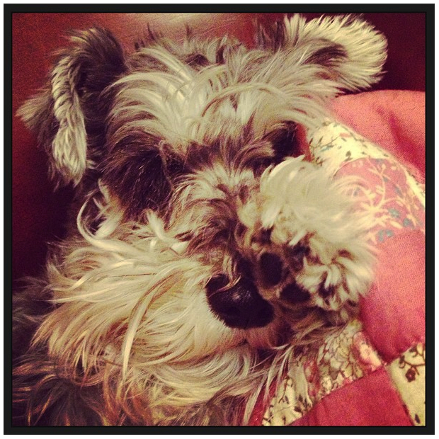 elle-love-dog-mini-schnauzer